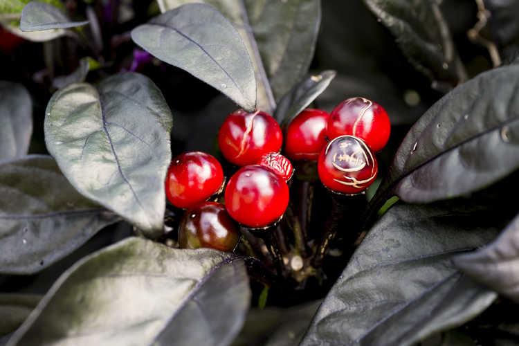 Capsicum annuum 'Black Pearl' (ornamental pepper)