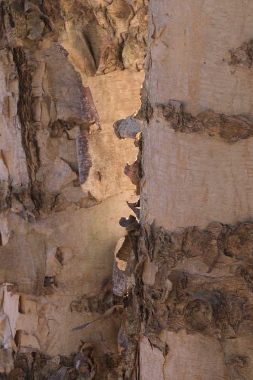 Betula nigra 'Improved Heritage' (river birch)