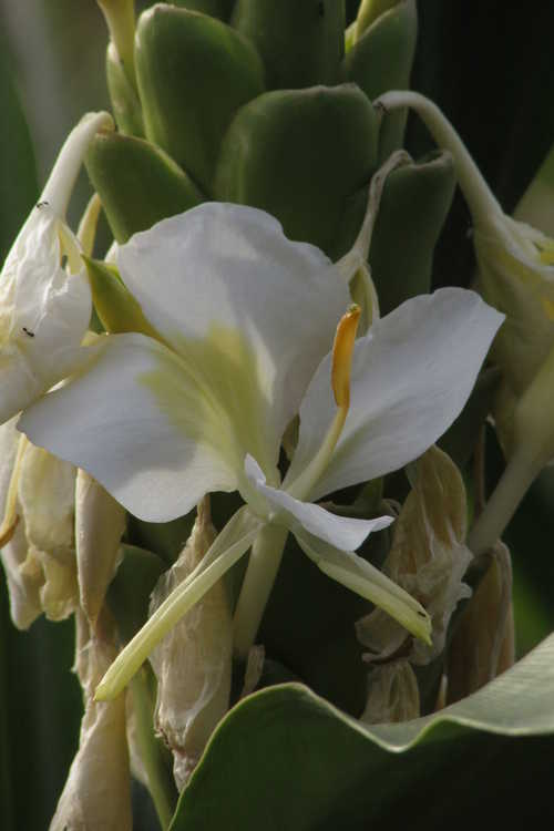 Hedychium 'Betty Hodge' (hardy ginger-lily)