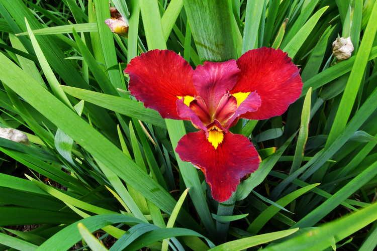 Iris 'Anne Chowning' (Louisiana iris)