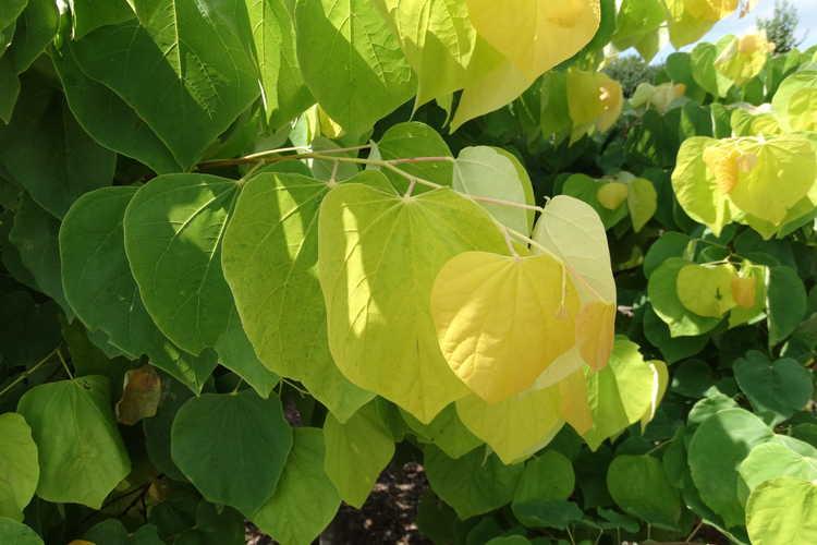 Cercis canadensis 'Jn2' (The Rising Sun gold-leaf eastern redbud)