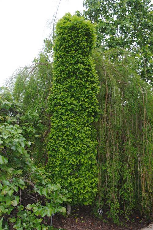 Carpinus betulus 'Columnaris Nana' (columnar dwarf hornbeam)