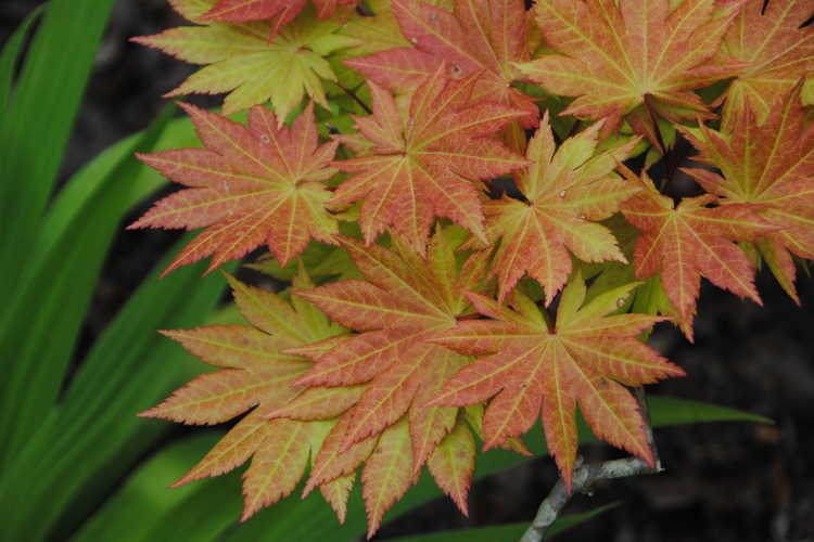 Acer shirasawanum 'Autumn Moon' (Shirasawa maple)