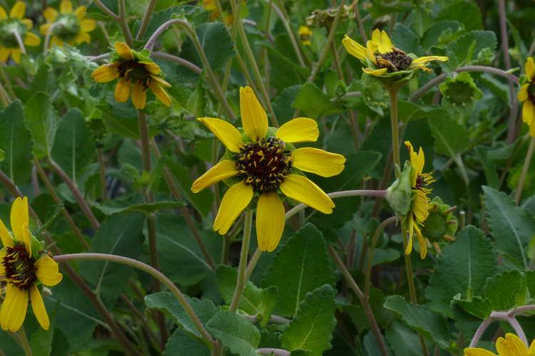 Berlandiera subacaulis (Florida chocolate daisy)