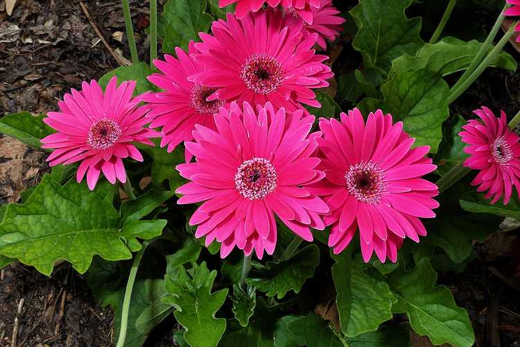 Gerbera (Garvinea Sweet Dreams Gerber daisy)