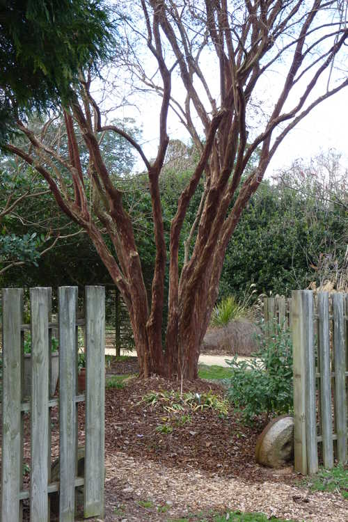 Lagerstroemia fauriei 'Townhouse' (Japanese crepe myrtle)