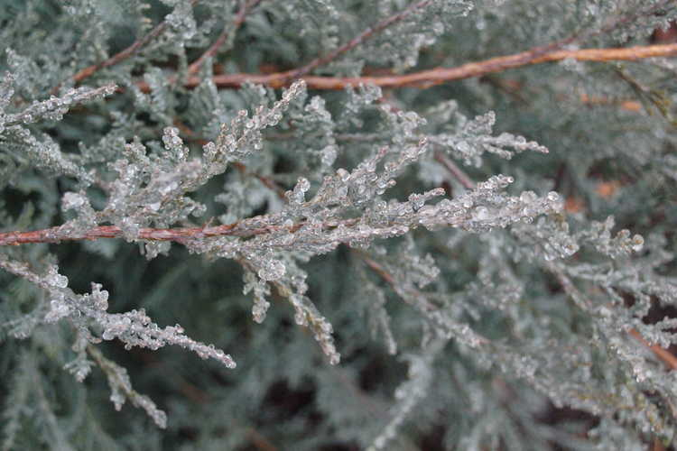 Juniperus virginiana 'Royo' (dwarf eastern redcedar)