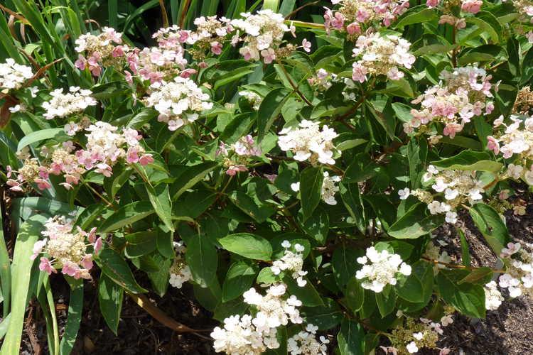 Hydrangea paniculata (ex. 'Dharuma') (panicled hydrangea)