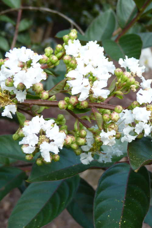 Lagerstroemia indica 'White Chocolate' (crepe myrtle)