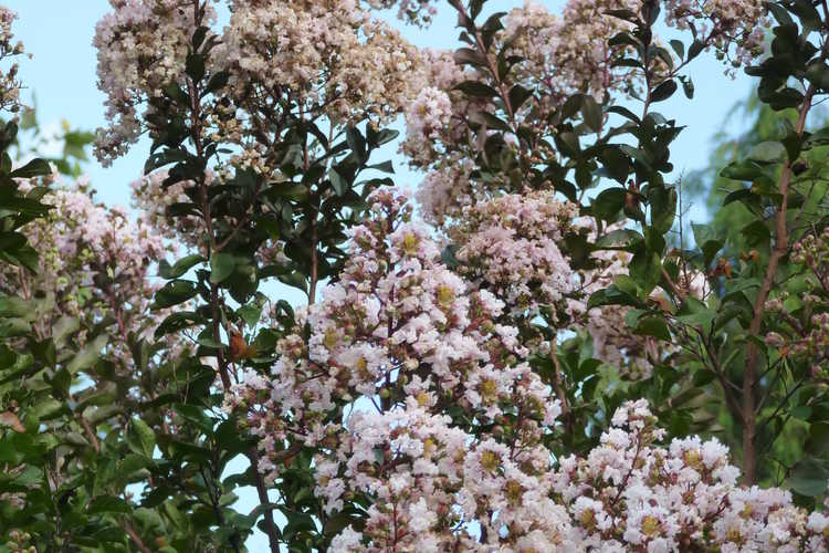 Lagerstroemia indica 'Whit VI' (Burgundy Cotton crepe myrtle)