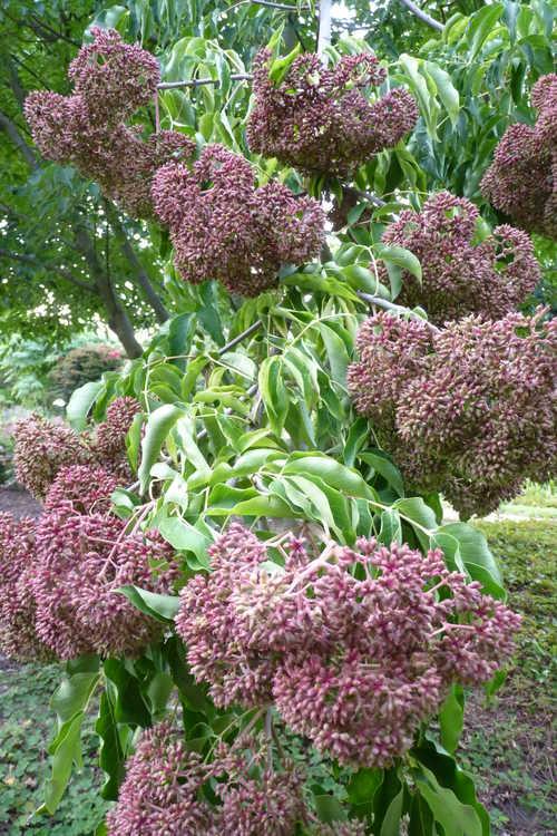 Tetradium glabrifolium (smooth bee bee tree)