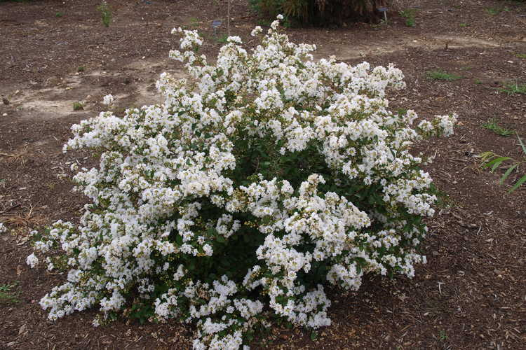 Lagerstroemia 'Jd900' (Early Bird White early flowering crepe myrtle)