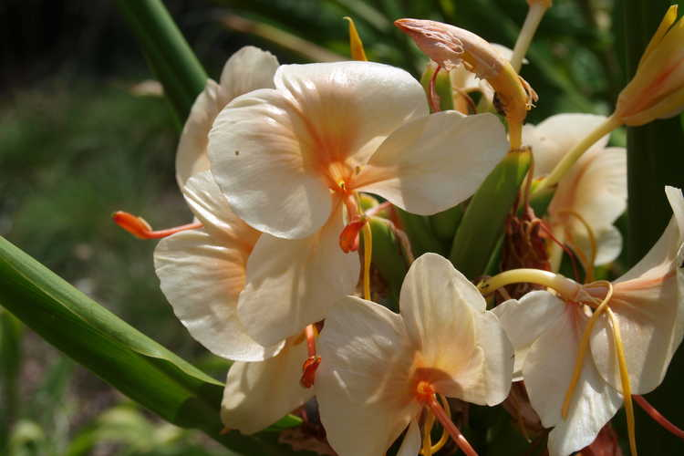 Hedychium 'Kinkaku' (hardy ginger-lily) - Fragrance permeates the air around this peachy ginger.  Come and smell!