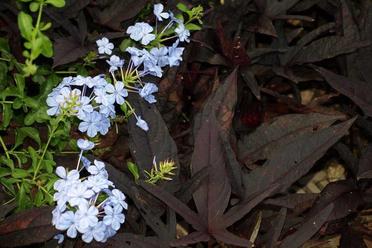 Ipomoea batatas (ornamental sweet potato) and Plumbago (blue plumbago)