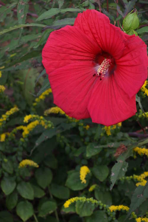 Hibiscus 'Fireball' (Fleming hybrid rose-mallow) and Solidago sphacelata 'Golden Fleece' (autumn goldenrod)