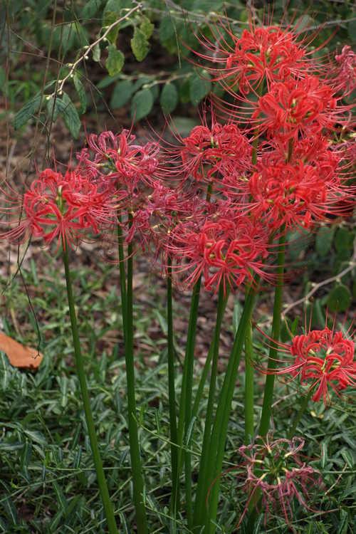 Lycoris radiata var. radiata (red surprise-lily)