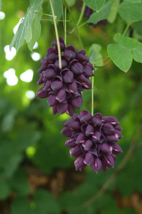 Mucuna cyclocarpa (purple jade vine)