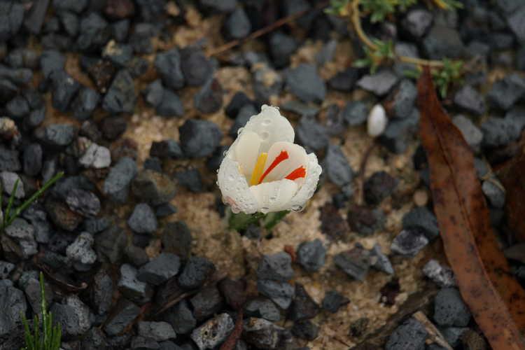 Crocus cartwrightianus 'Albus' (autumn-blooming crocus)