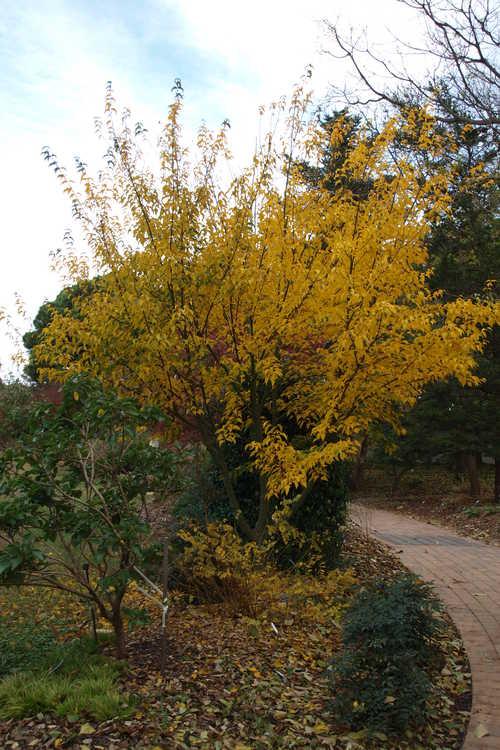 Acer tutcheri subsp. formosanum (Tutcher's maple)