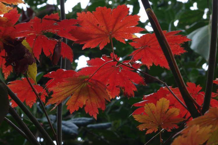 Acer pseudosieboldianum subsp. takesimense (Takeshima maple)