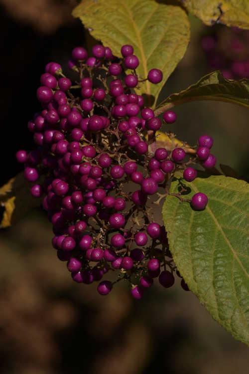 Callicarpa oshimensis (beautyberry)