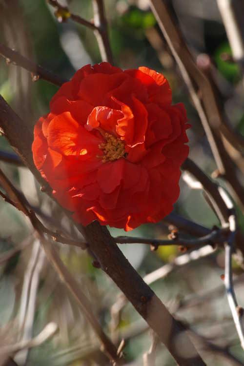 Chaenomeles 'Orange Storm' (Double Take hybrid flowering quince)