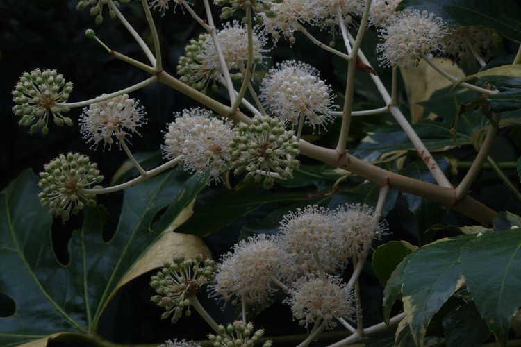 Fatsia japonica 'Variegata' (variegated Japanese fatsia)
