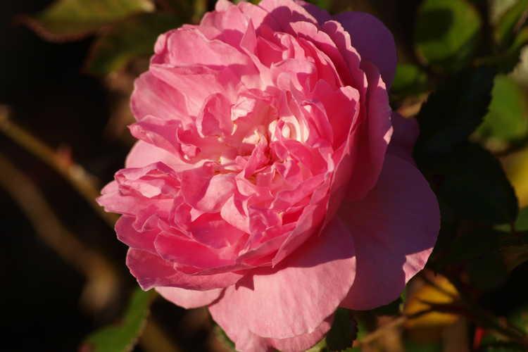 Rosa 'Radprov' (Orchid Romance floribunda rose)