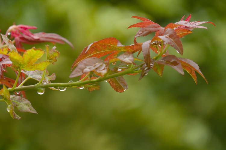 Acer palmatum 'Beni Hoshi' (Japanese maple)