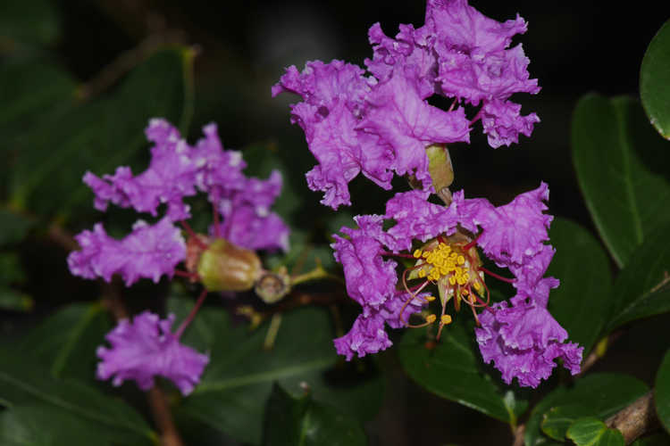 Lagerstroemia indica 'Orchid Cascade' (ground cover crepe myrtle)