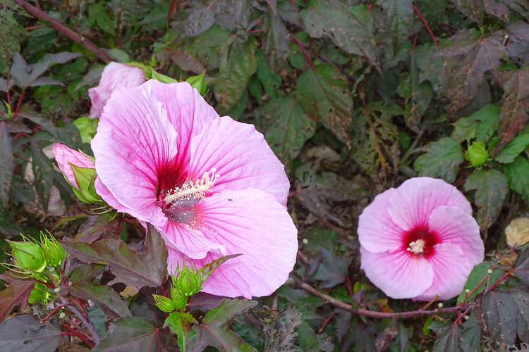 Hibiscus 'Summer Storm' (hybrid hibiscus)