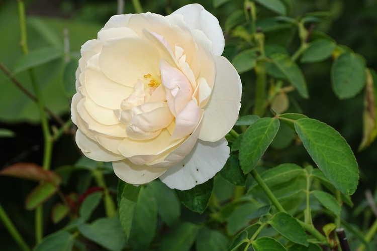 Rosa 'Ausrelate' (Lichfield Angel shrub rose)