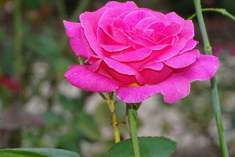 Rosa 'Meibil' (Pink Peace tea rose)