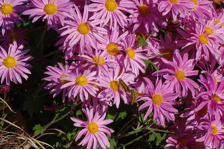Chrysanthemum 'Miss Gloria's Thanksgiving Day' (garden chrysanthemum) -
