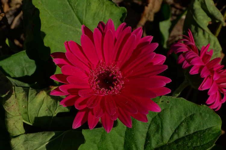 Gerbera (ex. Garvinea Sweet Dreams) (Gerber daisy)