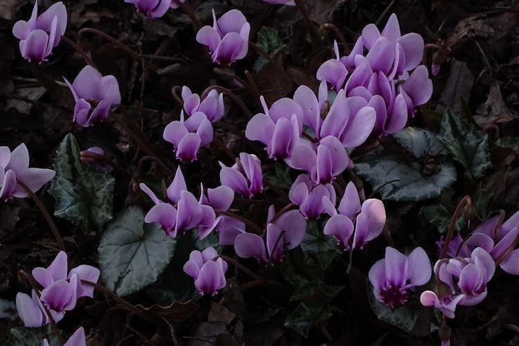 Cyclamen hederifolium Ashwood Nurseries Silver Leaf Group (hardy cyclamen)