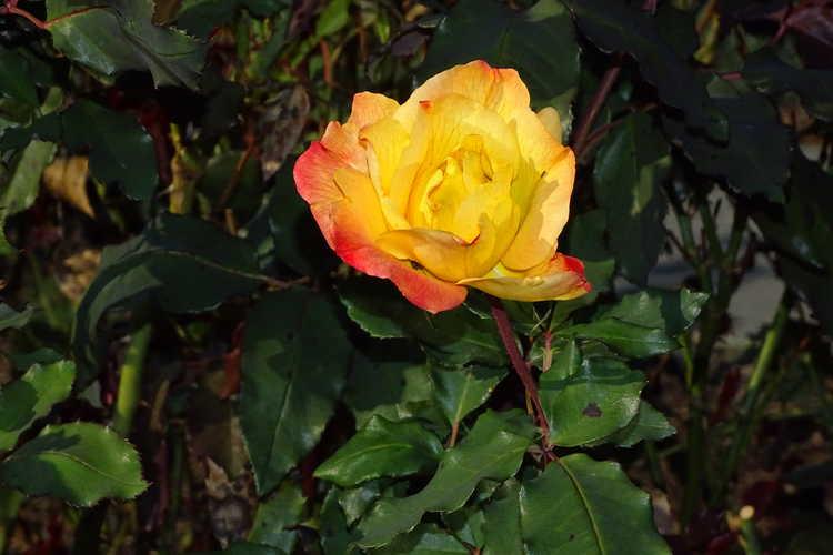 Rosa 'Jacrite' (Rio Samba tea rose)
