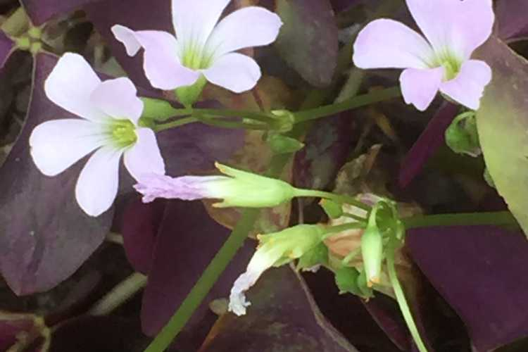 Oxalis triangularis 'Mijke' (purple shamrock)