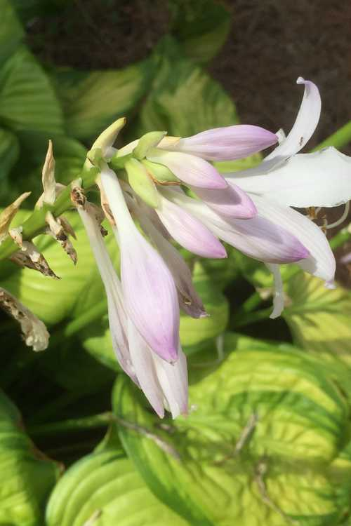Hosta 'Stained Glass' (hosta)