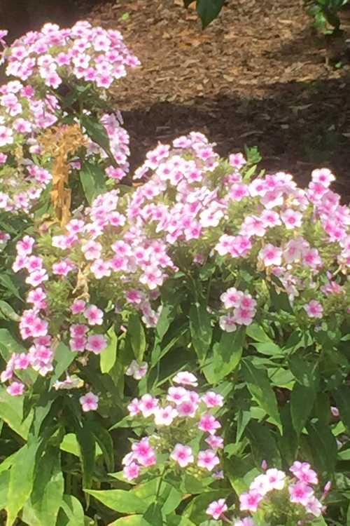 Phlox paniculata 'John Fanick' (garden phlox)