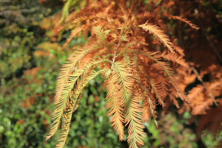 Taxodium distichum 'Jfs-sgpn' (Green Whisper bald cypress)
