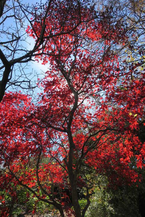 Acer palmatum 'Margaret Bee' (purple-leaf Japanese maple)