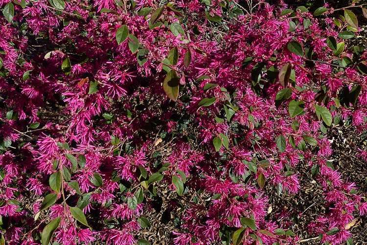 Loropetalum chinense var. rubrum 'Zhuzhou Fuchsia' (purple-leaf Chinese fringe-flower)