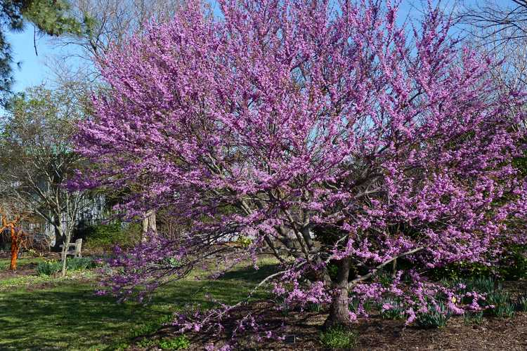 Cercis canadensis 'Ace of Hearts' (compact eastern redbud)