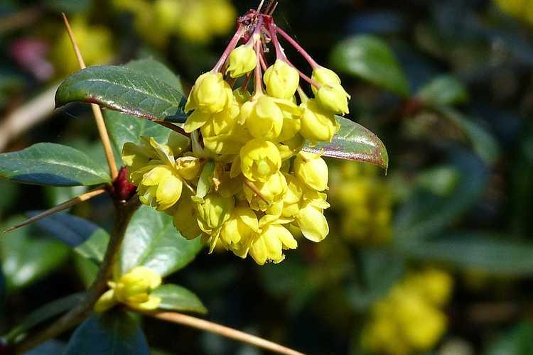 Berberis lempergiana (Chinese wintergreen barberry)