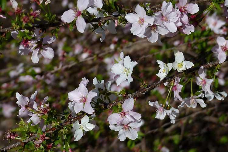 Prunus incisa 'Shikizaki' (weeping Fuji cherry)