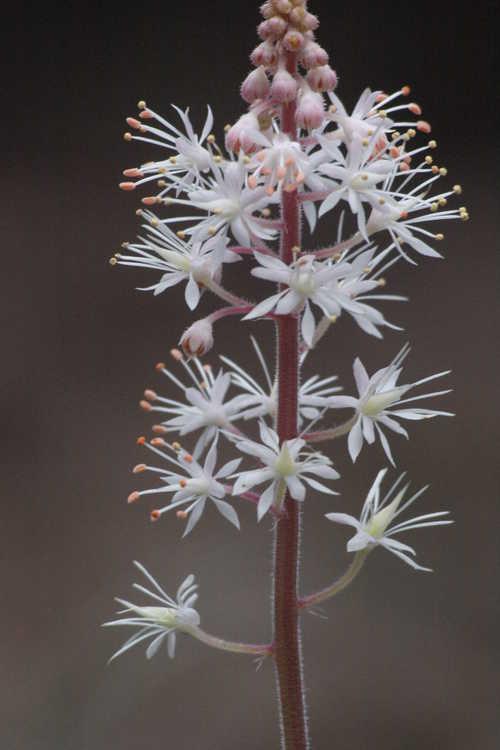 Tiarella 'Happy Trails' (hybrid foamflower) - - flowering a few months early