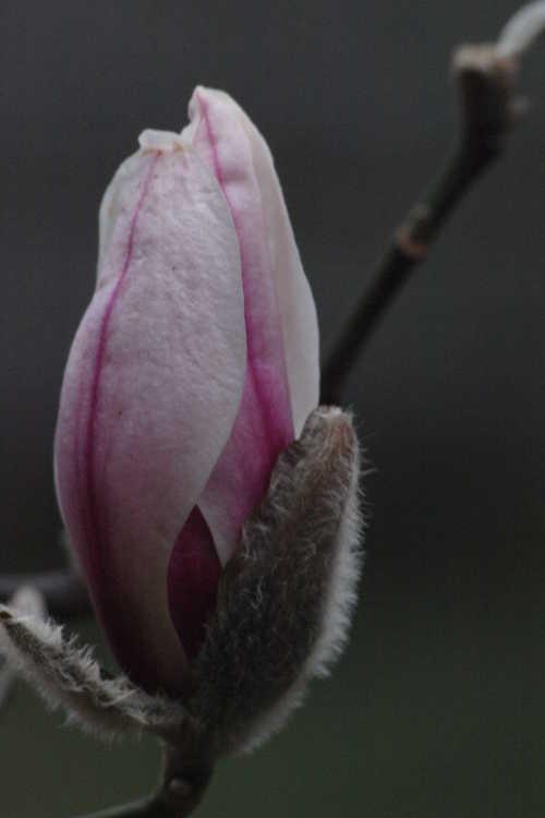 Magnolia zenii (Zen magnolia) - - typically one of the earliest flowering deciduous magnolia species at the JCRA