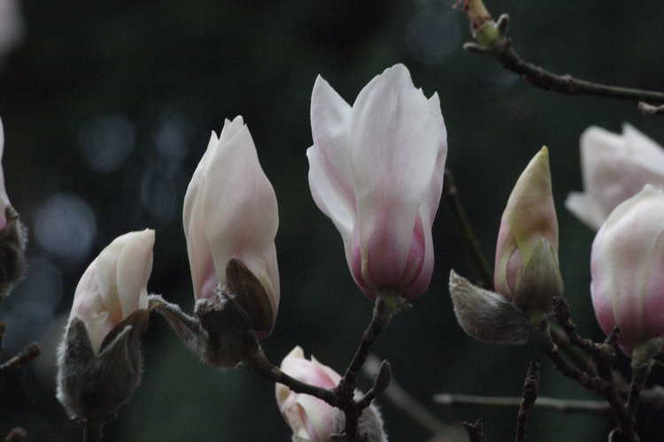 Magnolia biondii (hope of spring magnolia) - - typically one of the earliest flowering deciduous magnolia species at the JCRA