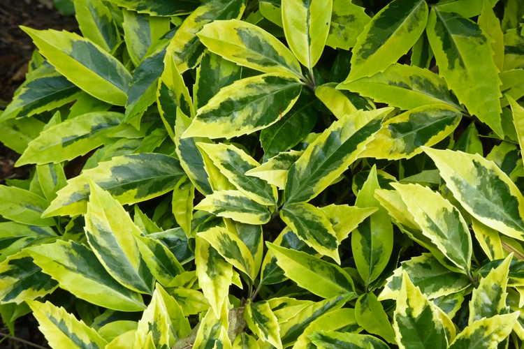 Aucuba japonica 'Sulphurea Marginata' (variegated Japanese aucuba)